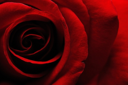 Dark-Red-Rose-Meaning-Unconscious-Beauty