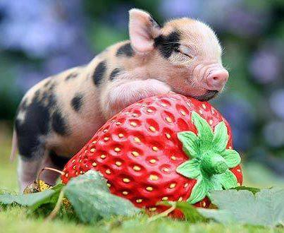 strawberrypiglet