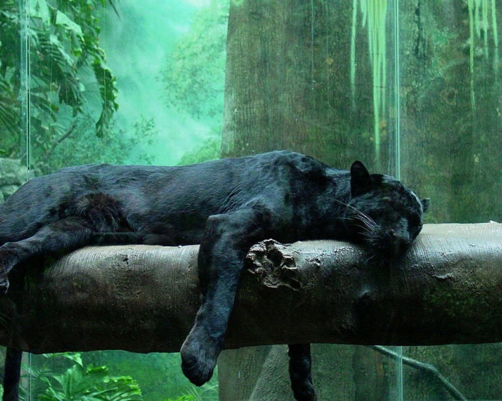 junglepanther