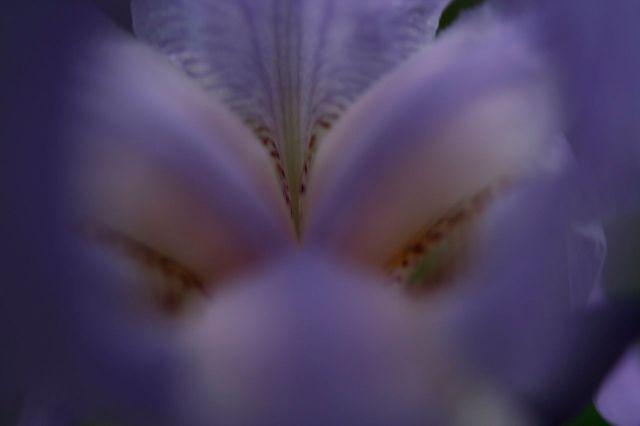 1280px-Inside-iris-blue-flower-macro_-_West_Virginia_-_ForestWander