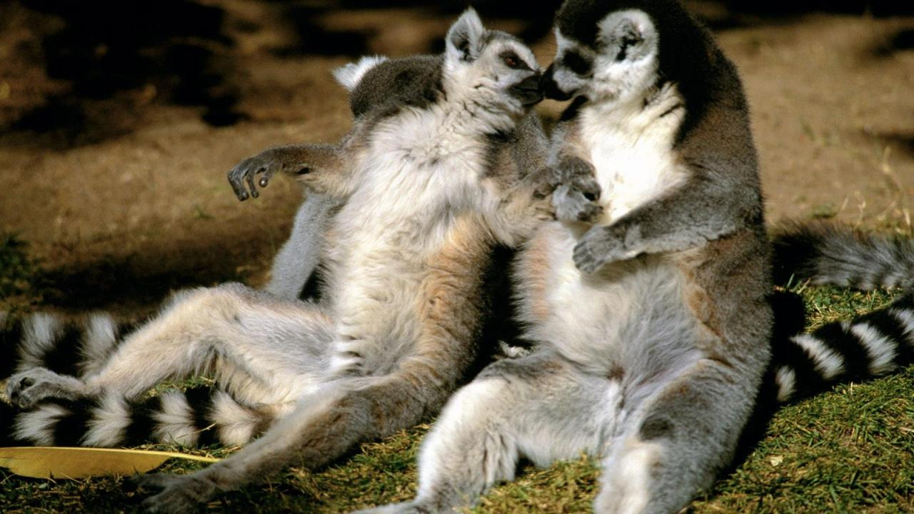 Ring-tailed Lemur Love