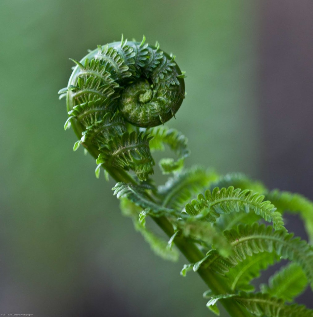 110518_fiddlehead_1