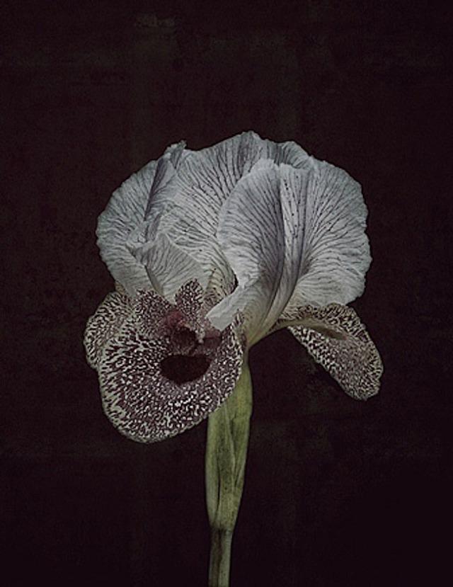 Iris bismarckiana