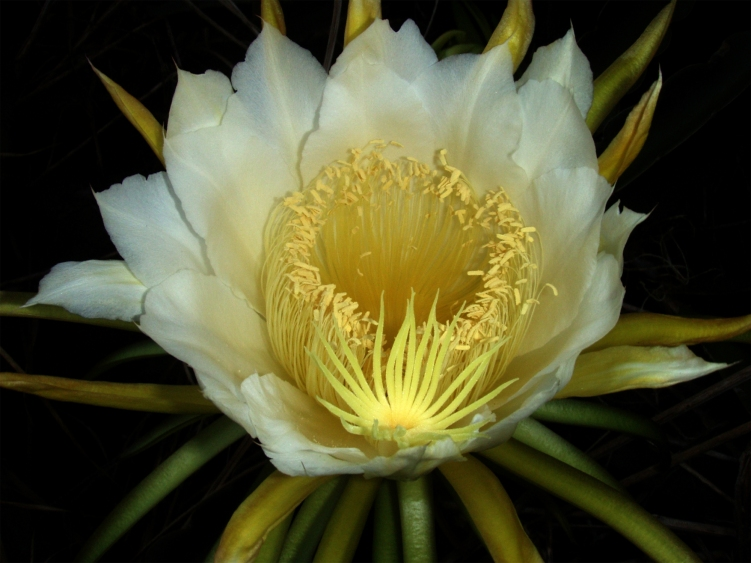night-blooming_cereus_paniniokapunahoa